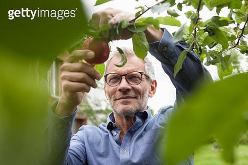 Smiling man picking apple from tree - gettyimageskorea