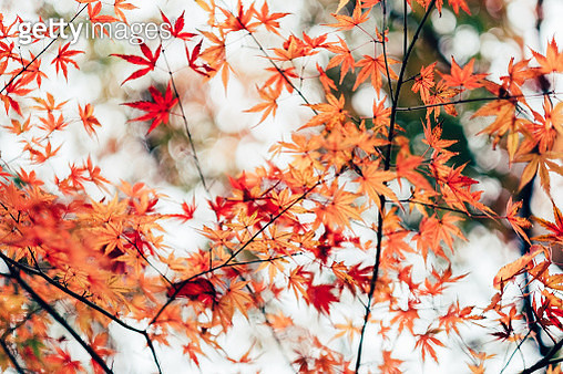Red maple leaves against sunlight in park - gettyimageskorea