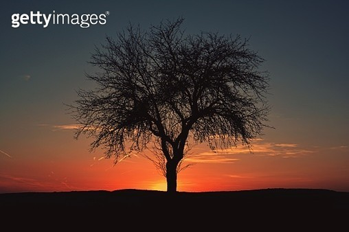 Tree at sunset - gettyimageskorea