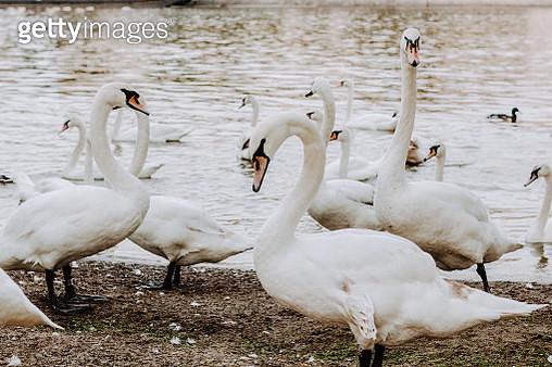 swans along the river in Prague, Czech Republic - gettyimageskorea