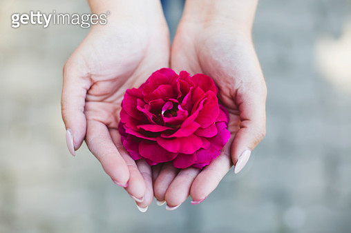 Rose in hand - gettyimageskorea