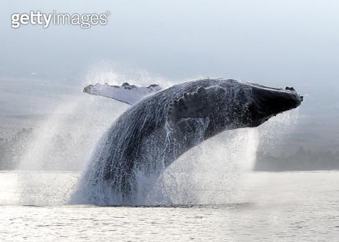 Whale breaching, Hawaii - gettyimageskorea