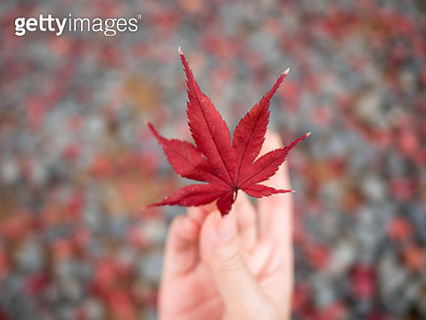 Cropped Hand Holding Red Maple Leaf - gettyimageskorea
