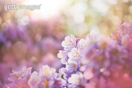 Azalea flowers blooming in morning light. - gettyimageskorea