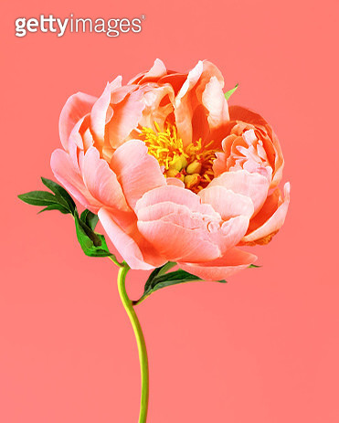 Lush, monochromatic peony bloom still life in Pantone's color of the year fro 2019 - living coral - gettyimageskorea