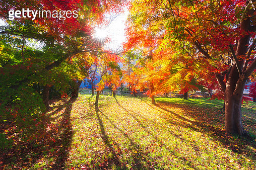 Maple tree with soft morning light, dreaming on the lake Kawaguchiko. - gettyimageskorea