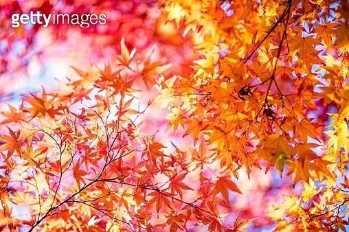 Japanese Maple - gettyimageskorea
