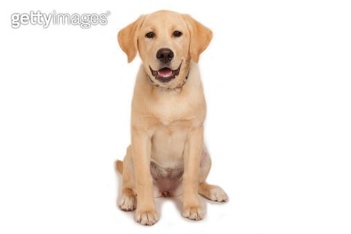 Puppy: Yellow Labrador! - gettyimageskorea