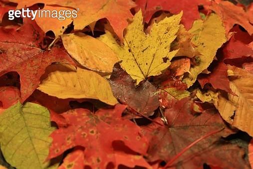 Full frame of fallen autumn leaves - gettyimageskorea