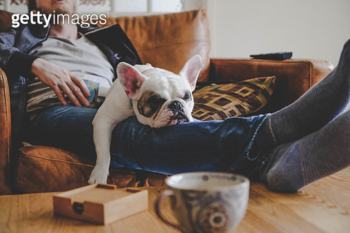 Frenchie puppy sleeping on man's laps - gettyimageskorea