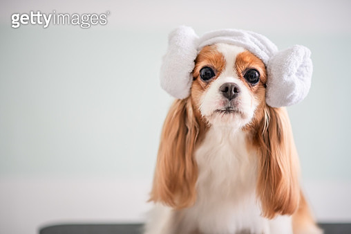 Cavalier King Charles Spaniel dog grooming session - gettyimageskorea