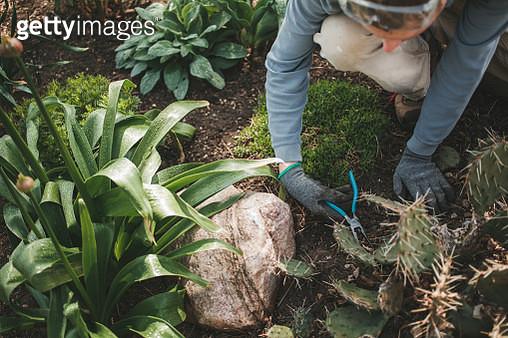 Man prunes a cactus plant growing in a garden - gettyimageskorea