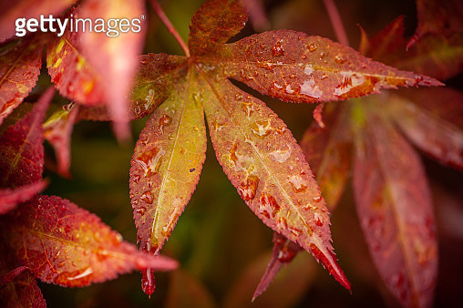 Close-Up Of Wet Maple Leaves During Autumn - gettyimageskorea