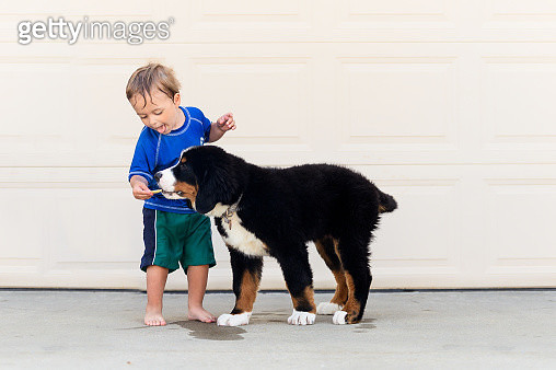 Toddler interacts with Bernese Mountain Dog Puppy Outside.  He is giving him a treat and helping with training. - gettyimageskorea