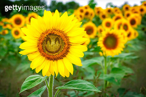 Sunflower with a smiling face. - gettyimageskorea