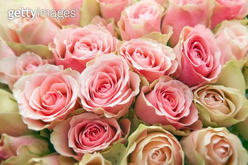 Pink Roses. - gettyimageskorea