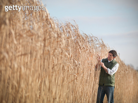 Farmer inspecting Miscanthus crop, or Elephant grass, on biomass farm at harvest time - gettyimageskorea