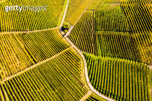 Top-down high angle view of vineyards, Langhe UNESCO World Heritage Site, Piedmont, Italy, Europe. - gettyimageskorea