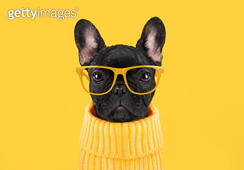 French bulldog puppy - gettyimageskorea