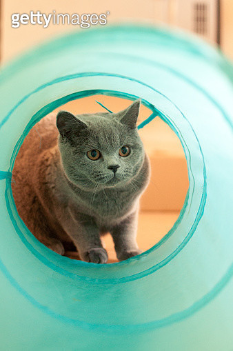 British Short Hair kitten looks through a cat tunnel - gettyimageskorea
