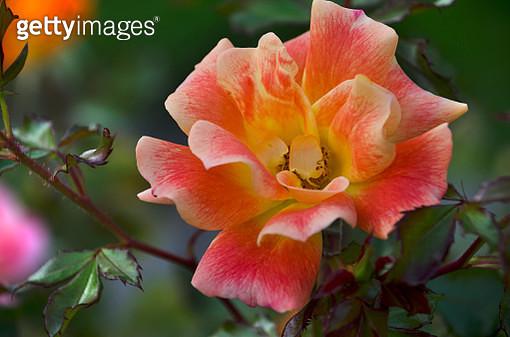 Garden Rose - gettyimageskorea