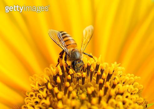 Honey bee - gettyimageskorea