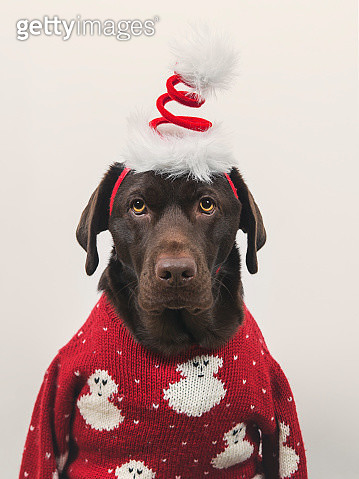 Dog in Xmas clothes - gettyimageskorea