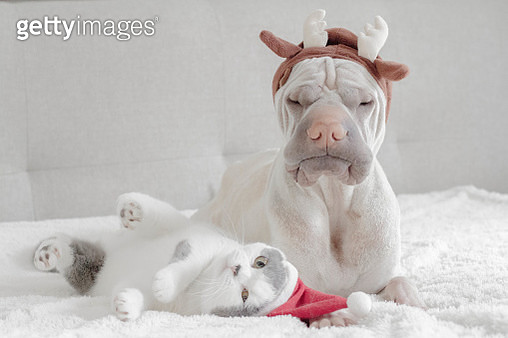 Shar pei dog dressed in antlers and british shorthair cat dressed in santa hat - gettyimageskorea