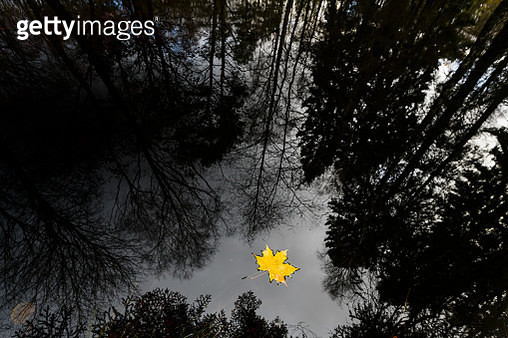 Yellow maple leaf floating on water - gettyimageskorea