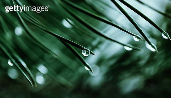 Fir branch and water drop - gettyimageskorea