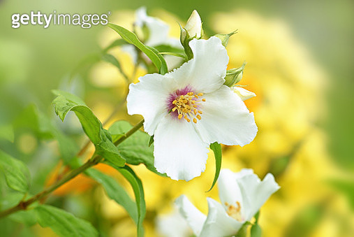 Close-up image of the beautiful white Philadelphus 'Belle Étoile' mock orange 'Belle Etoile' summer, scented flower - gettyimageskorea