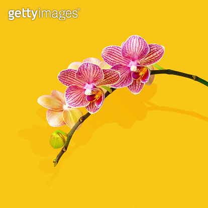 Exotic pink orchid on yellow background with shadow. - gettyimageskorea