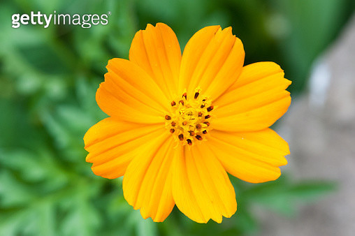 Close-Up Of Yellow Cosmos Flower - gettyimageskorea