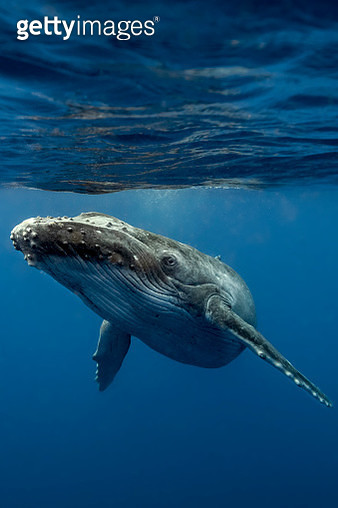 A young Curious Humpback whale - gettyimageskorea