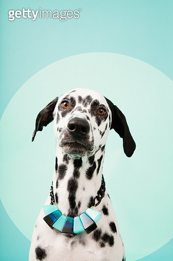 Portrait of Dalmatian Dog with Necklace - gettyimageskorea