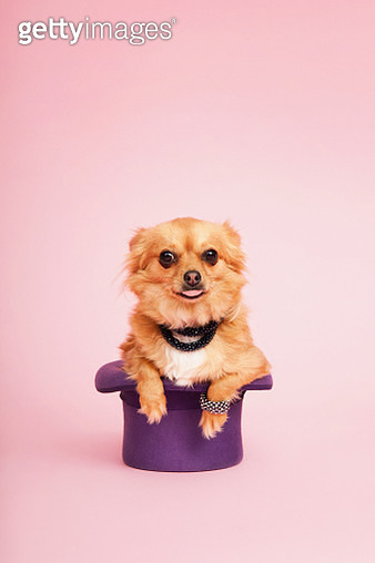 Chihuahua in a Hat - gettyimageskorea