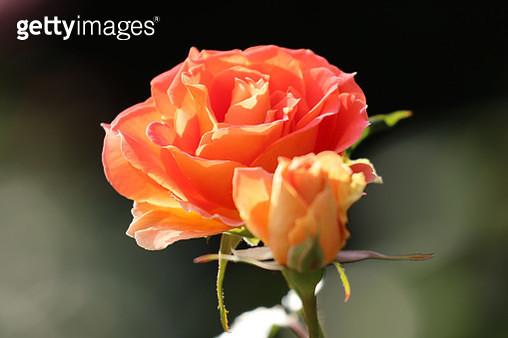 Rose - gettyimageskorea