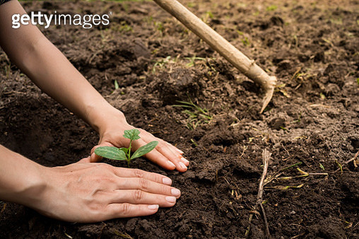 Cropped Image Of Woman Planting Plant - gettyimageskorea
