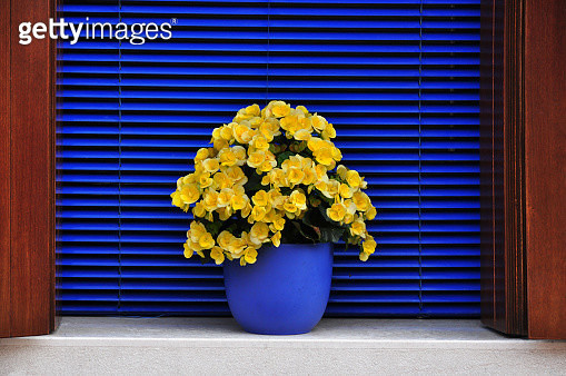 Bold Colours - Yellow flowers on a dark blue background, Burano, Venice - gettyimageskorea