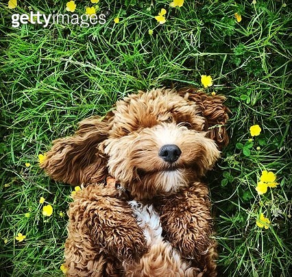Cute cockerpoo puppy waiting for tummy rub amongst spring flowers - gettyimageskorea