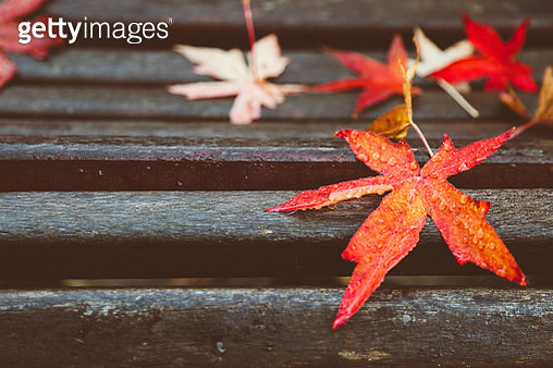 Close-Up Of Wet Maple Leaf On Wood During Autumn - gettyimageskorea