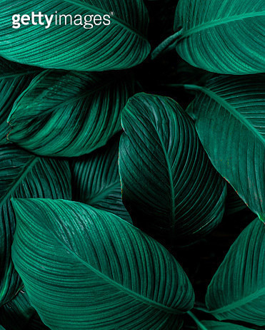Closeup Nature View Of Green Leaf Background, Dark Wallpaper Concept. - gettyimageskorea