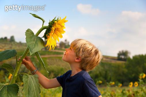 Boy smelling sunflower outdoors - gettyimageskorea