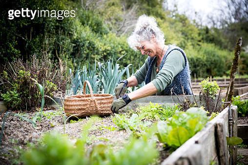 Mature female gardener tending lettuce on raised bed - gettyimageskorea
