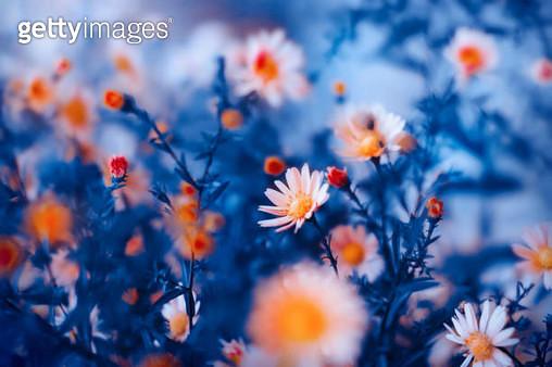 orange flower in blue background - gettyimageskorea