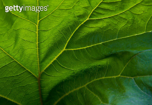 Close up of veins in green leaf - gettyimageskorea