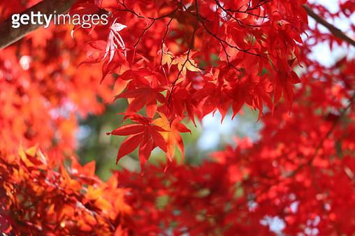 Maple - gettyimageskorea