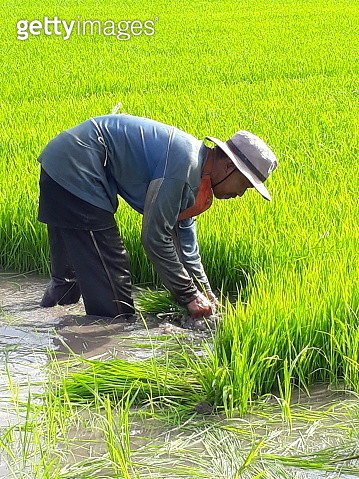 Side View Of Farmer Working At Rice Paddy - gettyimageskorea